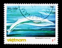 Blue Whale (Balaenoptera musculus), serie, circa 1985. MOSCOW, RUSSIA - NOVEMBER 26, 2017: A stamp printed in Vietnam shows Blue Whale ( royalty free stock photo