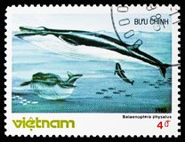 Fin Whale (Balaenoptera physalus), Whales serie, circa 1985. MOSCOW, RUSSIA - NOVEMBER 10, 2018: A stamp printed in Vietnam shows Fin Whale (Balaenoptera stock photos