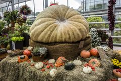 Moscow, Russia - September 18, 2017: The largest pumpkin in Russ Stock Photography