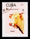 Charolais Bos primigenius taurus, Breeds of cattle serie, Cuba circa 1973 Stock Photo