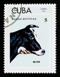 Holstein Cattle Bos primigenius taurus, Breeds of cattle serie, Cuba circa 1973 Stock Images