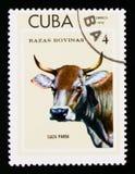 Suiza Parda Bos primigenius taurus, Breeds of cattle serie, circa 1973 Stock Images