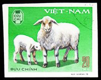 Domestic Sheep Ovis ammon aries, Domestic horned animals serie, circa 1979 royalty free stock images