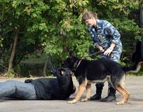 Training service dog for the detention of an armed criminal royalty free stock photo