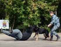 Training service dog for the detention of an armed criminal stock images