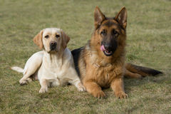 Moscow sheepdog and Labrador retriever. Royalty Free Stock Images