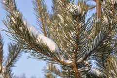 Moscow snow lies on a pine tree. royalty free stock photo