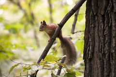 Moscow squirrel Royalty Free Stock Photos