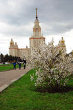 Moscow State University. Blooming apple tree. Stock Photo
