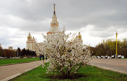Moscow State University. Blooming apple tree. Royalty Free Stock Image
