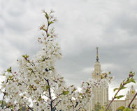 Moscow State University. Blooming apple tree. Royalty Free Stock Photography
