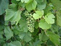Mosel白葡萄的葡萄园 库存照片