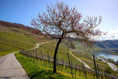 Mosel River and Vineyards Landscape at Piesport Rheinland Pfalz. Mosel River and Vineyards Landscape in bright spring green at Piesport Rheinland Pfalz Germany Royalty Free Stock Photos