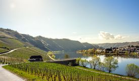 Mosel River and Vineyards Landscape at Piesport Rheinland Pfalz. Mosel River and Vineyards Landscape in bright spring green at Piesport Rheinland Pfalz Germany Stock Photography