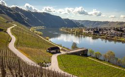 Mosel River and Vineyards Landscape at Piesport Rheinland Pfalz. Mosel River and Vineyards Landscape in bright spring green at Piesport Rheinland Pfalz Germany Stock Photo
