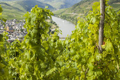 Mosel vineyard in Germany Stock Photo