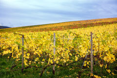 Mosel Vineyards region in autumn in Germany . Royalty Free Stock Photo