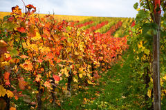 Mosel Vineyards region in autumn in Germany . Stock Images