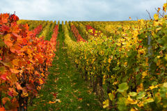 Mosel Vineyards region in autumn in Germany . Royalty Free Stock Image