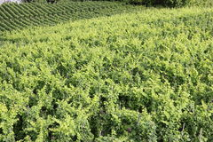 Mosel vingårdar längs floden Moselle (Mosel), Rheinland-Pfalz, Tyskland Arkivfoton