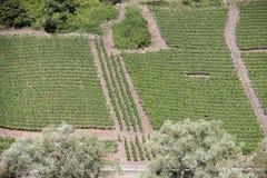 Mosel vingårdar längs floden Moselle (Mosel), Rheinland-Pfalz, Tyskland Royaltyfri Fotografi