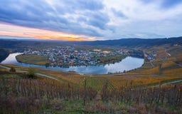 Moselle vingårdar och Piesport by i den guld- hösten på skymning Royaltyfri Bild