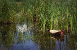 Moses basket in the reeds w/o text Royalty Free Stock Photography