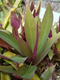 Moses in the cradle. Purple moses plant Royalty Free Stock Photos