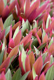 Moses in a Cradle  Rhoeo discolor  rosette with bi-coloured leaves. Moses in a Cradle  Rhoeo discolor  rosette plant with bi-colored leaves open up towards the Stock Images