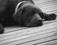 Moses the Great. A handsome dog- named Moses- asleep on the porch Stock Photos
