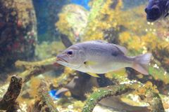 Moses perch. The image of the moses perch in aquarium at Chantaburi Stock Image