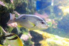Moses perch. The image of the moses perch in aquarium at Chantaburi Royalty Free Stock Images