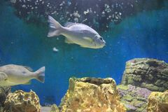 Moses perch. The image of the moses perch st the local aquarium Royalty Free Stock Photography