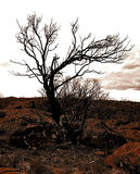 The Moses Tree. A burnt African Sandalwood tree in the Valley of Desolation Royalty Free Stock Images