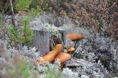 Moshroom Royaltyfria Bilder
