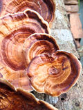 Moshroom: Microporus xanthopus Zdjęcie Royalty Free