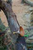 Moshroom, Microporus-xanthopus Stock Afbeelding