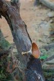 Moshroom, xanthopus de Microporus Image stock