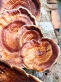 Moshroom: Xanthopus Microporus Стоковое фото RF