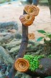 Moshroom, xanthopus Microporus Стоковое Изображение