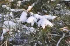 Moskau, der Schnee auf den Kiefern, Winter lizenzfreies stockbild