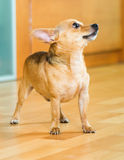 Moskau Toy Terrier Stockbilder