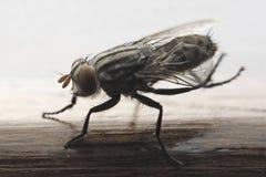 moskito Lizenzfreies Stockbild