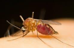 moskito stockbild