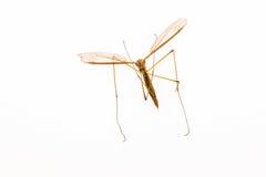 moskito Lizenzfreies Stockfoto