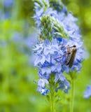 Moskito auf blauer Blume Stockfotos