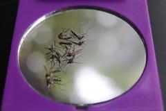 Moskitos sterben auf dem Spiegel Stockfotos