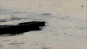 Moskitos on water stock footage
