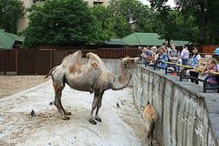 Moskou, RUSLAND - JUNI 21: Kameel bij de dierentuin in Moskou op 21 Juni, 2014, Stock Foto's