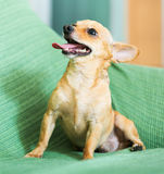 Moskou Toy Terrier Royalty-vrije Stock Fotografie
